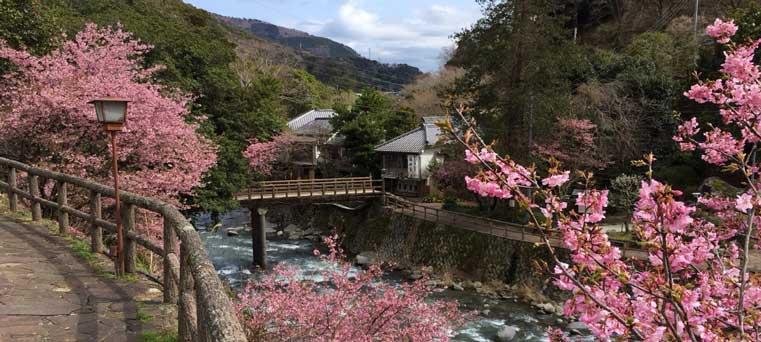 福田家と河津桜